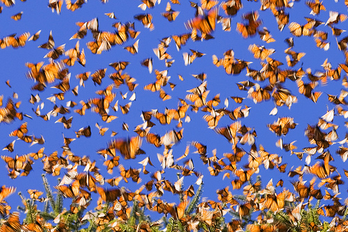 Monarchs in motion, flickrfan, monarch, butterfly, mariposa, monarcha, mexico, michoacan, migration, wildlife, monarchbutterfly,photo by farflungphotos on FlickrFan Stan's site licensed under Creative Commons